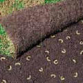Engerlinge richten viel Schaden am Rasen an