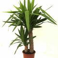 Zimmerpflanze: Yucca oder Palmlilie