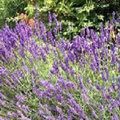 Lavendel: Zurückschneiden, Stecklinge, Pflanzabstand, Arten, Verwendung und Tourismus