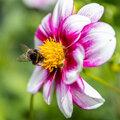 Blumenzwiebeln für glückliche Bienen