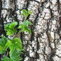 Hedera Helix als Bodendecker oder Heckenpflanze