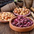 Pflanzzwiebeln im Gemüsegarten