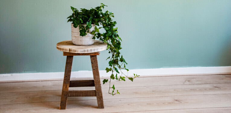 Hedera-Helix als Zimmerpflanze