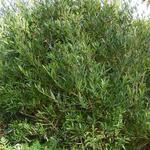 Schmalblättrige Steinlinde - Phillyrea angustifolia