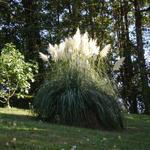 Cortaderia selloana - Herbe de la pampa - Cortaderia selloana