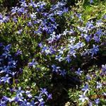 Pratia pedunculata 'County Park' - Pratia pedunculata 'County Park'