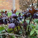 Helleborus orientalis 'Black'