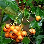 Pyracantha 'Golden Charmer' - Pyracantha 'Golden Charmer'