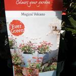 Photinia x fraseri 'Magical Volcano' - Photinia x fraseri 'Magical Volcano'