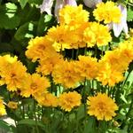 Coreopsis grandiflora 'Presto' - Coreopsis grandiflora 'Presto'