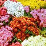 Achillea millefolium 'Summer Pastels' - Achillea millefolium 'Summer Pastels'