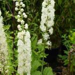 Trauben-Silberkerze - Actaea racemosa