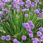 Allium schoenoprasum - Schnittlauch - Allium schoenoprasum