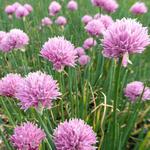 Allium schoenoprasum 'Rising Star' - Allium schoenoprasum 'Rising Star'