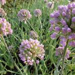 Allium senescens - Ausdauernder Lauch - Allium senescens