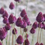 Allium sphaerocephalon - Kugelköpfiger Lauch - Allium sphaerocephalon