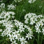 Allium tuberosum - Knoblauch-Schnittlauch - Allium tuberosum