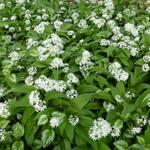 Allium ursinum - Bärlauch - Allium ursinum
