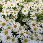 Aster novae-angliae 'Herbstschnee' - Aster novae-angliae 'Herbstschnee'