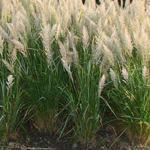 Calamagrostis brachytricha - Diamant-Gras, Diamant-Reitgras - Calamagrostis brachytricha