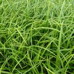 Wald-Segge - Carex sylvatica