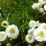 Chamaemelum nobile 'Ligulosum' - Chamaemelum nobile 'Ligulosum'