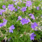 Geranium sylvaticum 'Mayflower' - Geranium sylvaticum 'Mayflower'