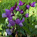 Frühlings-Platterbse - Lathyrus vernus