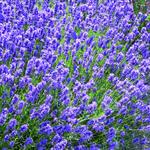Lavandula angustifolia 'Dwarf Blue' - Lavandula angustifolia 'Dwarf Blue' - Lavandula angustifolia 'Dwarf Blue'