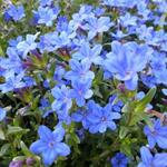 Lithodora diffusa 'Heavenly Blue'