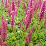 Persicaria affinis 'Kabouter' - Persicaria affinis 'Kabouter'