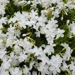 Phlox subulata 'White Delight' - Phlox subulata 'White Delight'