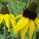 Riesen-Sonnenhut - Rudbeckia maxima