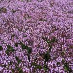 Thymus 'Doone Valley' - Thymus 'Doone Valley'