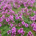 Thymus praecox 'Purple Beauty'  - Thymus praecox 'Purple Beauty'