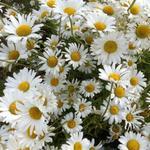 Leucanthemum vulgare 'Maikonigin' - MARGUERITE, LEUCANTHEME - Leucanthemum vulgare 'Maikonigin'