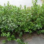 Thymus praecox 'Pseudolanuginosus' - Thymus praecox 'Pseudolanuginosus'