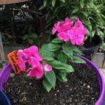 Phlox paniculata 'SWEET SUMMER Wine' - Phlox paniculata 'SWEET SUMMER Wine'