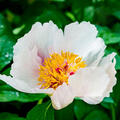 Paeonia suffruticosa  (wit)