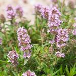 Thymus vulgaris - Echter Thymian - Thymus vulgaris