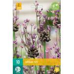 Allium Art - Zierlauch