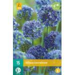 Allium caeruleum - Zierlauch