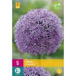Allium Gladiator - Zierlauch (5 stück)