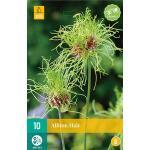 Allium Hair - Zierlauch