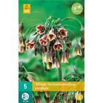 Allium (nectaroscodum) siculum - 5 Stück