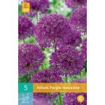 Allium Purple Sensation - 5 Stück
