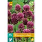 Allium sphaerocephalon Zierlauch - 25 Stück (25 stück)