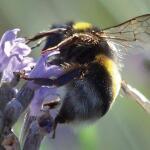 Bienen Blumenmischung