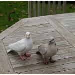 Taube lebensecht weiß oder grau
