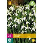 Galanthus elwesii - Schneeglöckchen (25 stück)